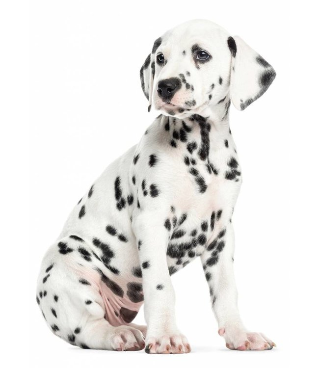 Wandtattoo Dalmatian Puppy, 31 x 43 cm