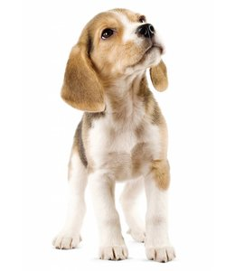 Muursticker Beagle Puppy