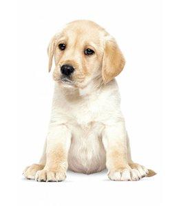 Wandtattoo Labrador Puppy