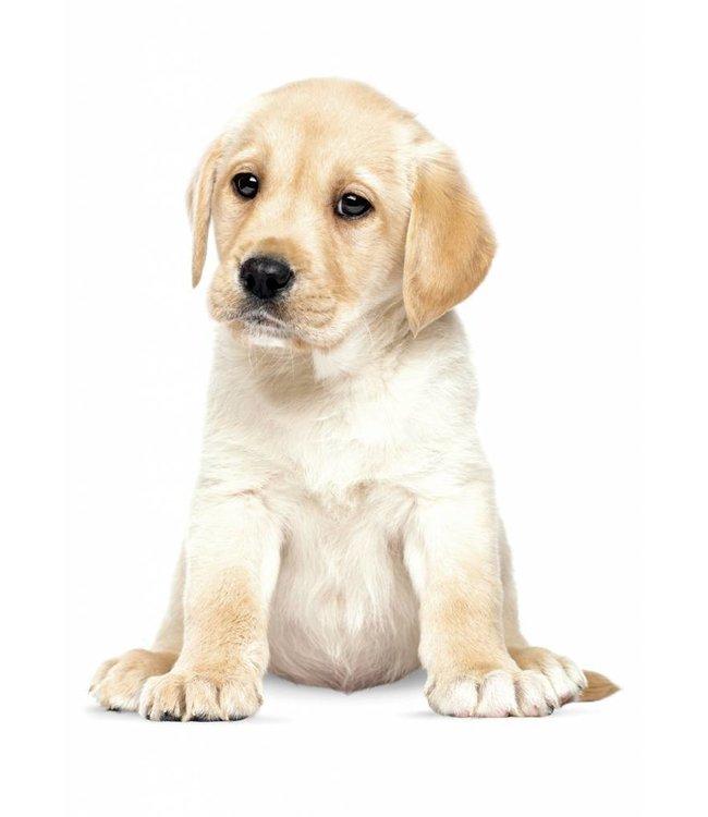 Muursticker Labrador Puppy, 24 x 28 cm