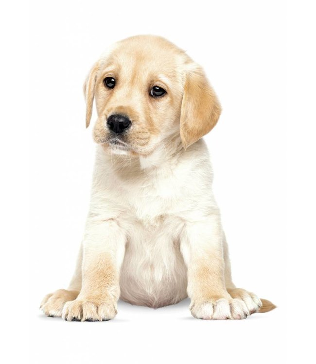 Wall sticker Labrador Puppy, 24 x 28 cm