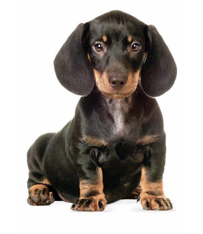 Wandtattoo Teckel Puppy, 17 x 23 cm