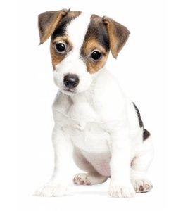 Wandtattoo Jack Russel Puppy