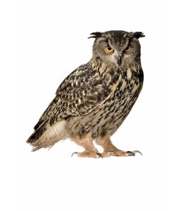 Wandtattoo Owl