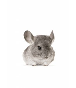 Muursticker Chinchilla
