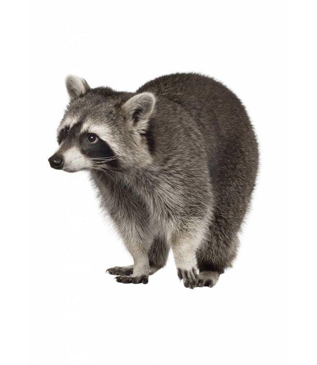 Muursticker Wasbeer, 25 x 25 cm