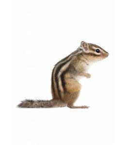 Wandtattoo Squirrel