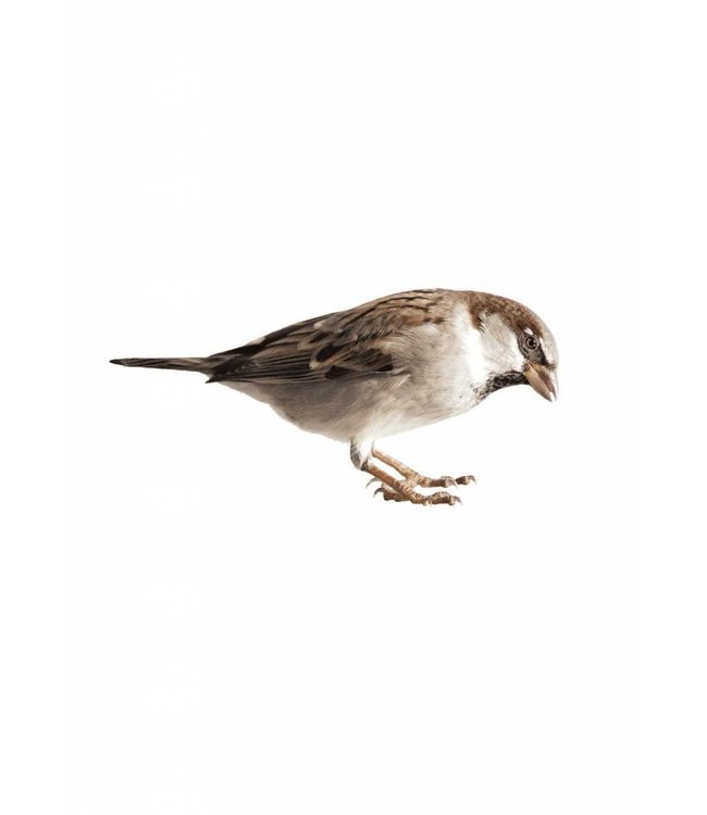 Wandtattoo Sparrow, 15 x 7 cm