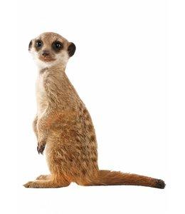 Wandtattoo Meerkat