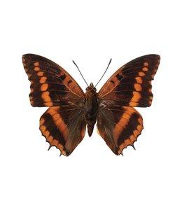 Hagedornhagen muursticker Butterfly 954