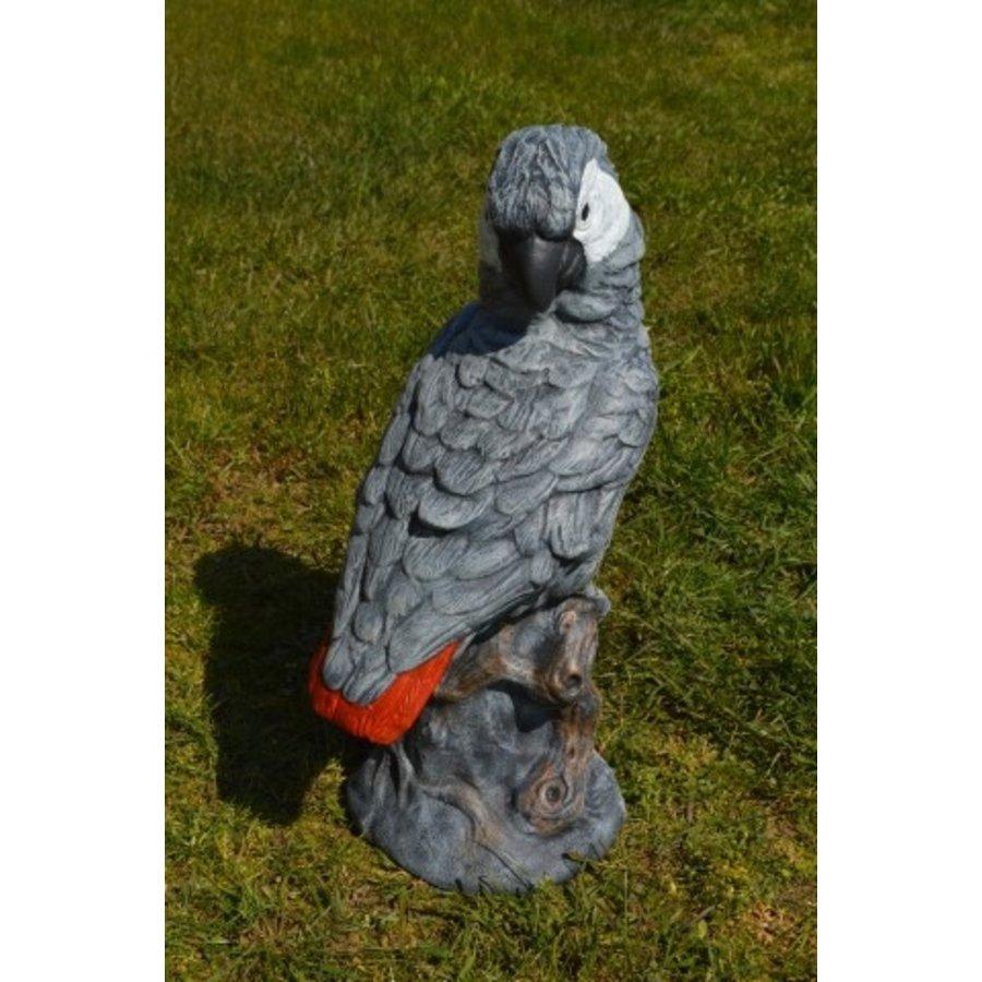 Grijze roodstaart papegaai-2