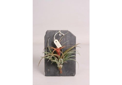 Dist Dïst airplant op leisteen