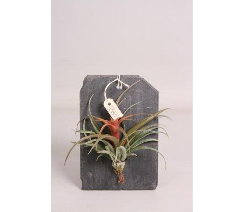 Dïst airplant op leisteen