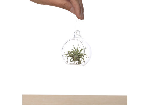 Airplants Tillandsia in glasbol
