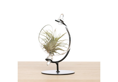 Airplants Globe tillandsia