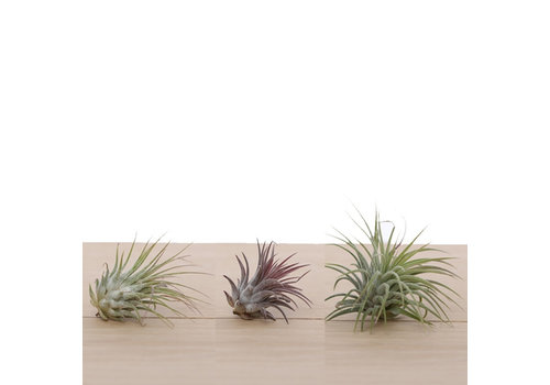 Airplants Airplantjes (5x)