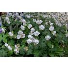 Geranium cantabrig. 'St Ola'