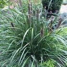 Pennisetum alop. 'Black Alvernee'