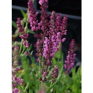 Salvia nem. 'Rose Queen'