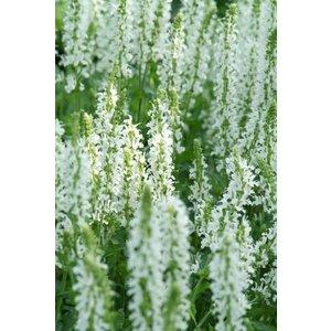 Salvia nem. 'Schneehugel'