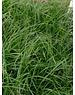 Carex morrowii 'Evergreen'