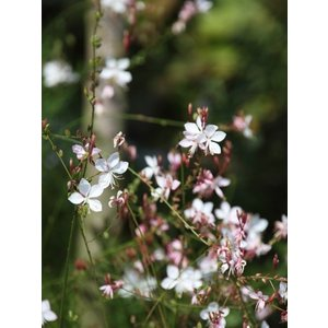 Gaura lindh. 'Whirling Butterflies'