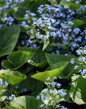 """Brunnera macrophylla """"Vergeet mij nietje"""""""