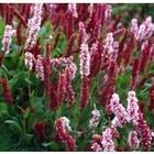 Persicaria affine 'Darjeeling Red'