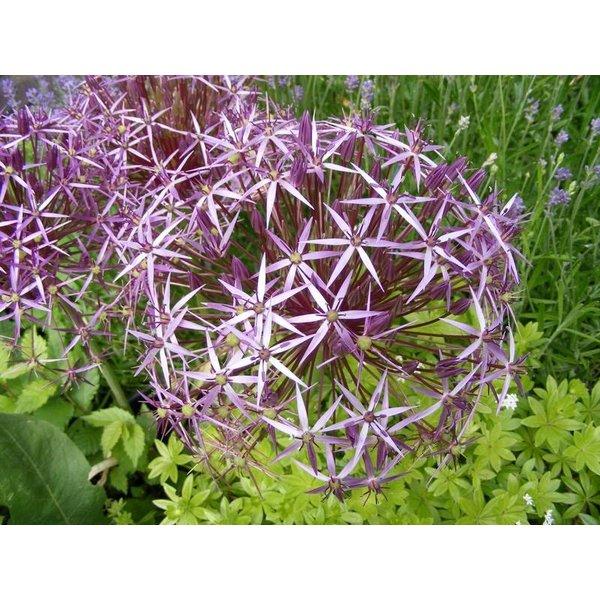 Sterrenlook (Allium christophii)