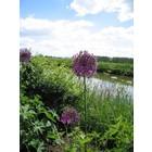 Sierui (Allium 'Purple Sensation')
