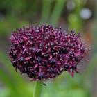 Sierui (Allium atropurpureum)