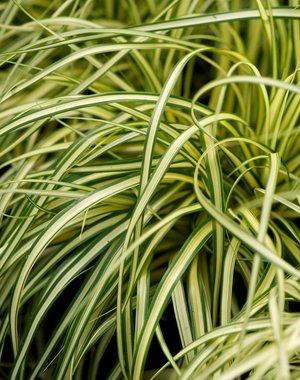 Carex osh. 'Evergold'