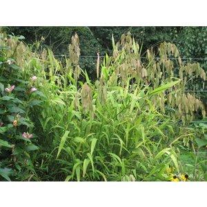 Chasmanticum latifolium