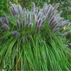 Pennisetum alop. 'Viridescens'