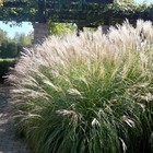 Miscanthus sin. 'Morning Light'