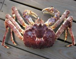 Koningskrab (Elk ongeveer 2-2,5 kg +-)
