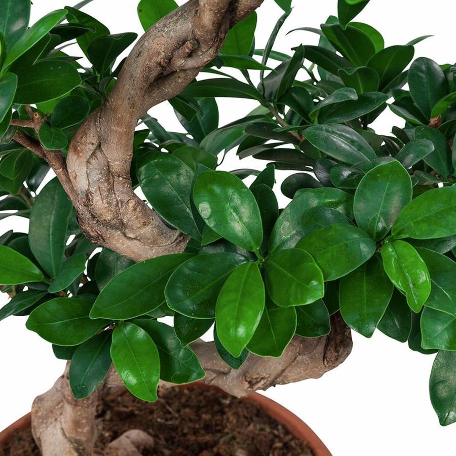 Ficus Gin Seng Bonsai-3