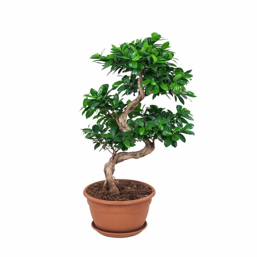 Ficus Gin Seng Bonsai-4
