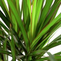 thumb-Dracaena Marginata - Drakenbloedboom - 105-125cm - Met of zonder pot-4