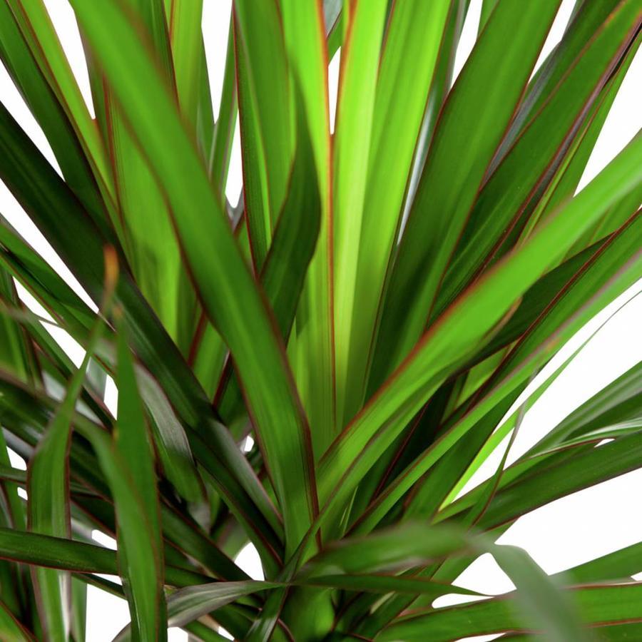 Dracaena Marginata - Drakenbloedboom - 105-125cm - Met of zonder pot-4