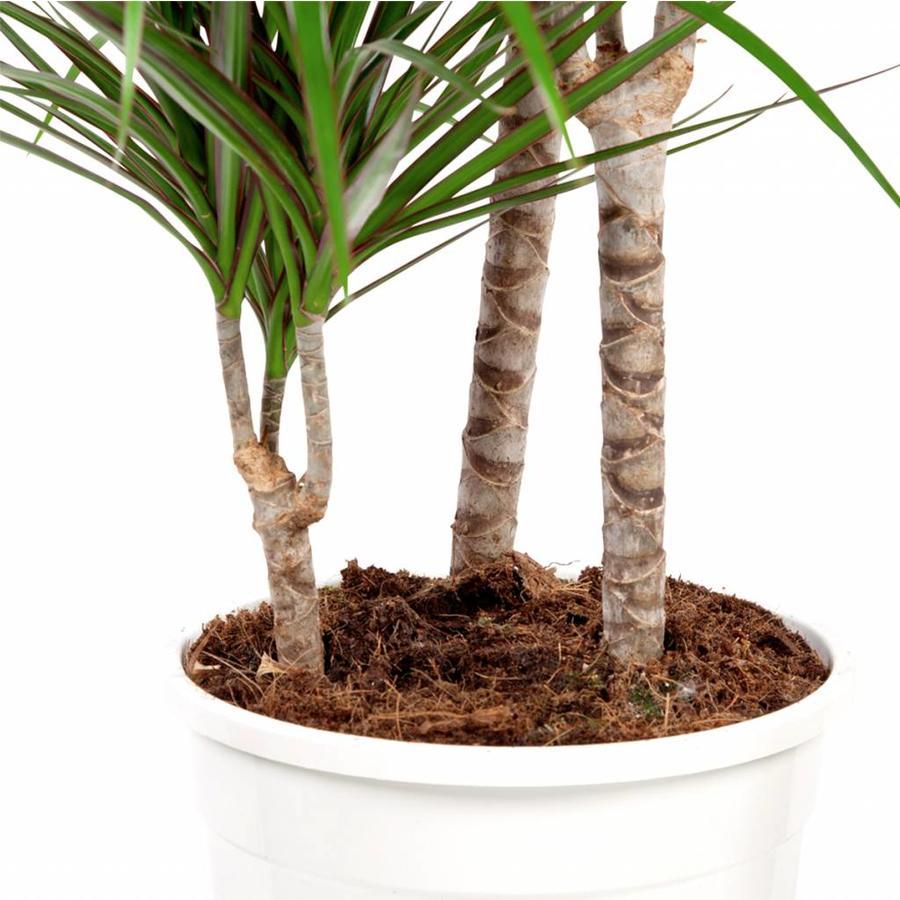 Dracaena Marginata - Drakenbloedboom - 105-125cm - Met of zonder pot-3