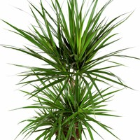 thumb-Dracaena Marginata - Drakenbloedboom - 105-125cm - Met of zonder pot-5