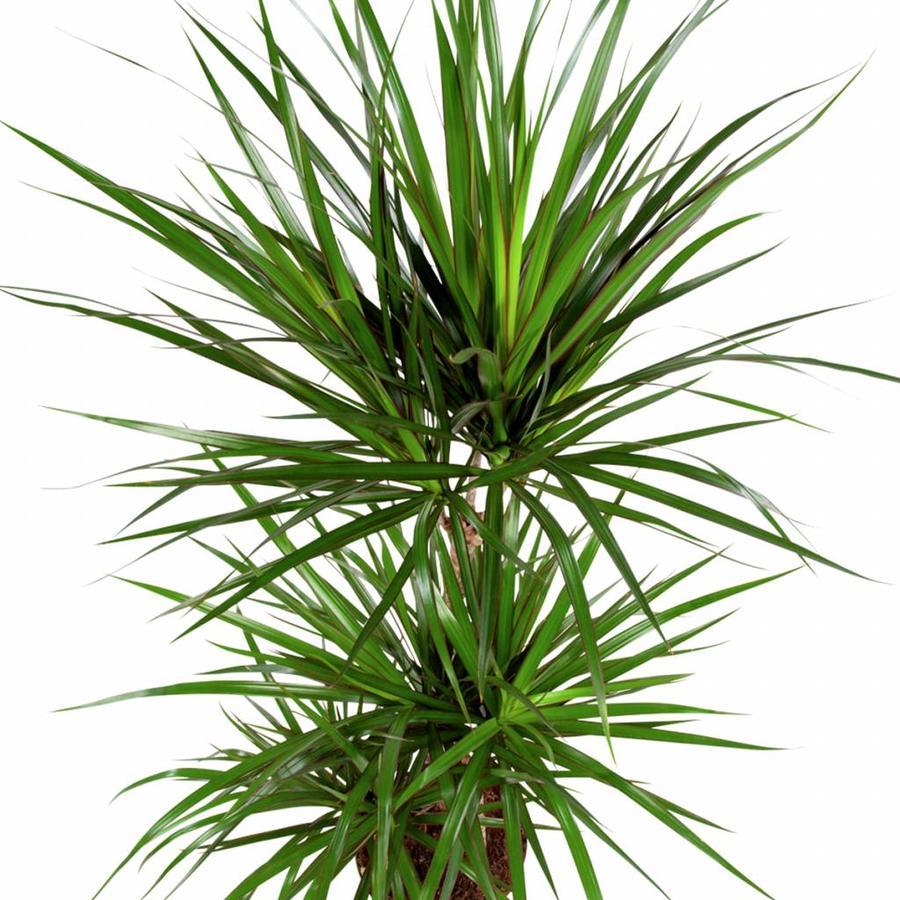 Dracaena Marginata - Drakenbloedboom - 105-125cm - Met of zonder pot-5