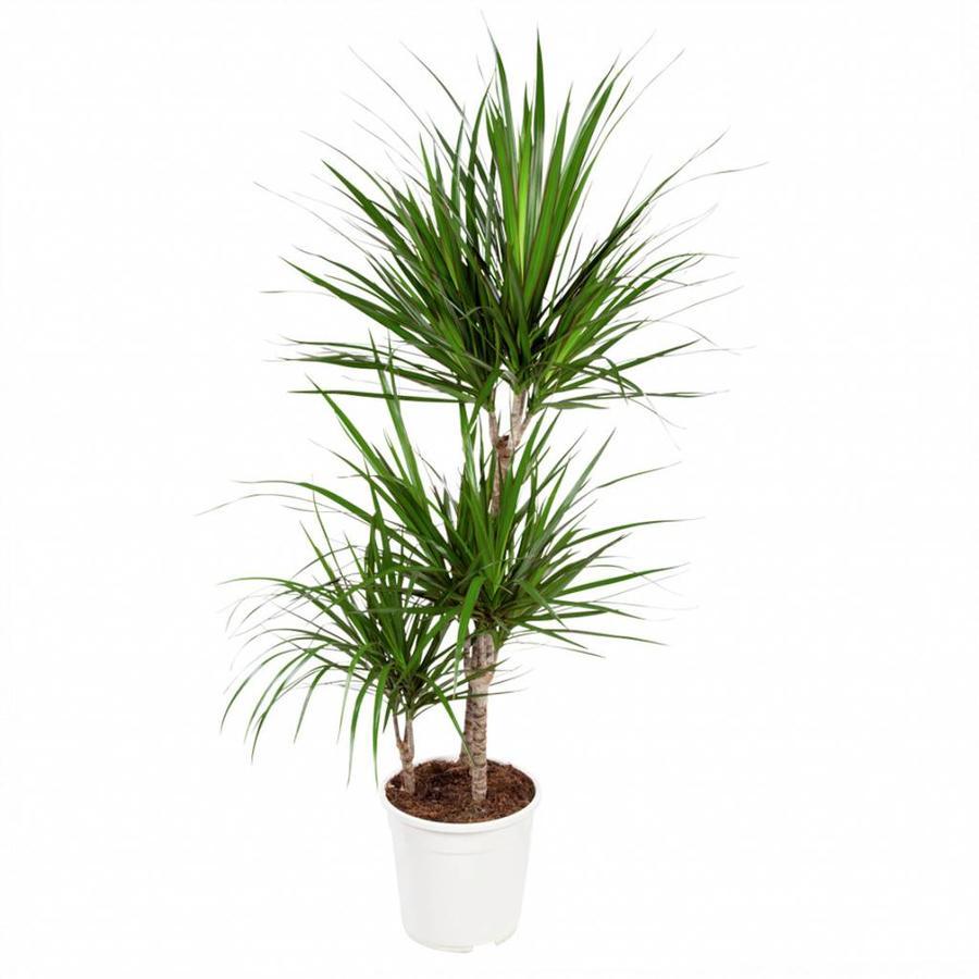 Dracaena Marginata - Drakenbloedboom - 105-125cm - Met of zonder pot-6