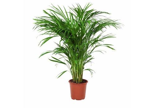 Areca / Dypsis Palm - Goudpalm