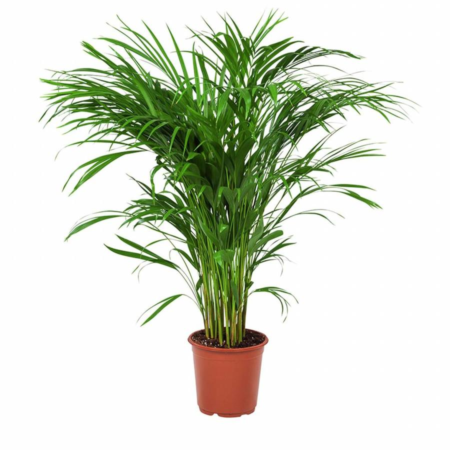Areca / Dypsis Palm - Goudpalm-1
