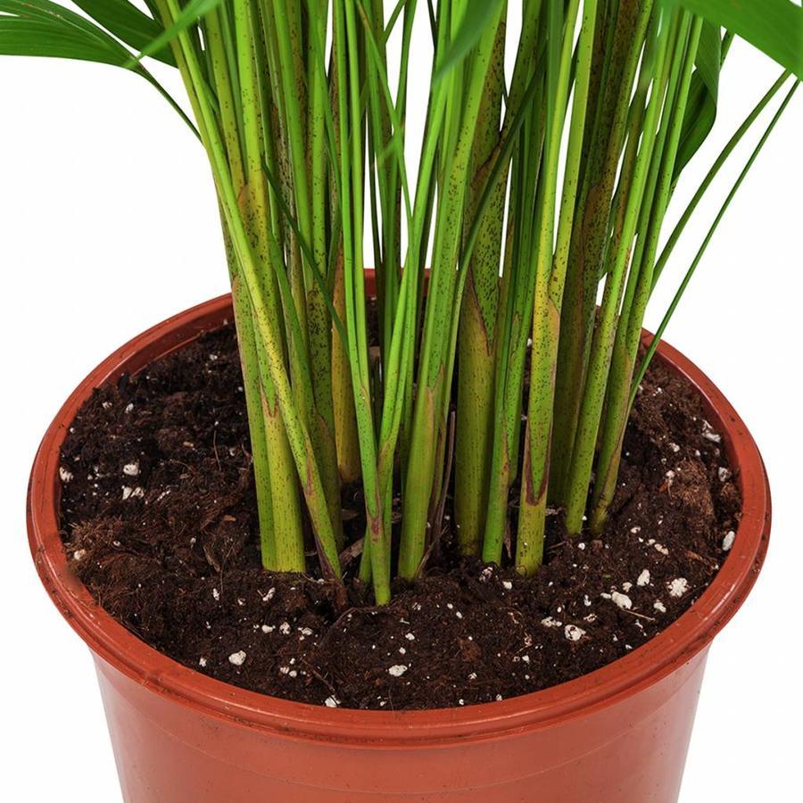 Areca / Dypsis Palm - Goudpalm-3