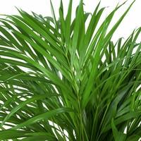 thumb-Areca / Dypsis Palm - Goudpalm-2