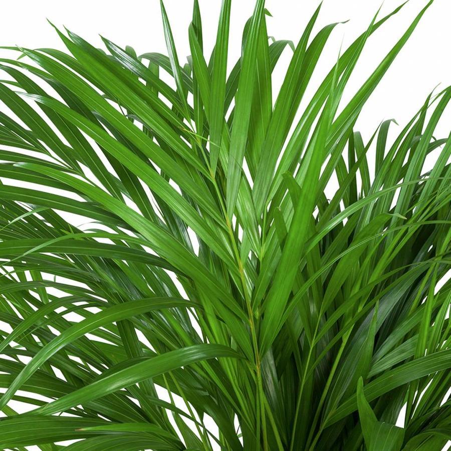 Areca / Dypsis Palm - Goudpalm-2