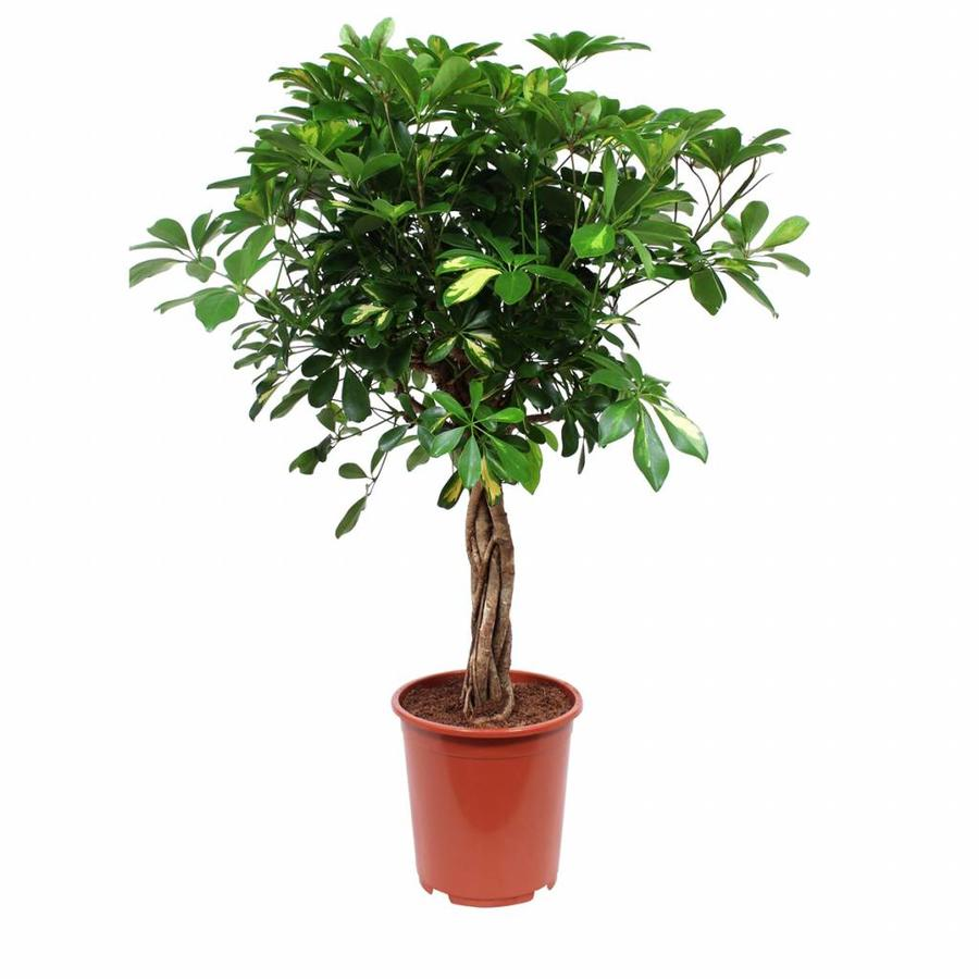 Schefflera Arboricola gold capella - Vingerboom - Met/zonder pot-5